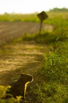 Capybara at Esteros del Iber�